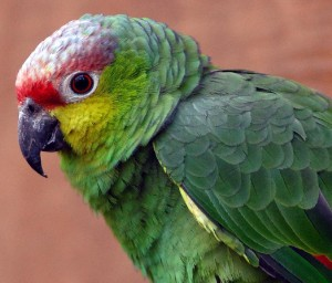 Ecuadorian Amazon Red-Lored  Parrot